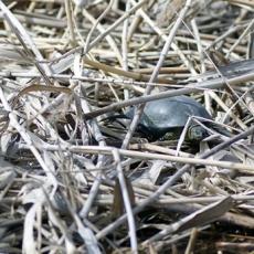 Черепаха на реке Подстепка